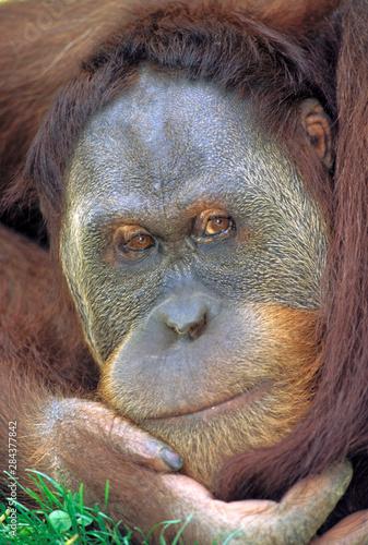 Indonesia, Sumatra. Sumatran Orangutan (pongo pygmaeus abelii) Wallpaper Mural