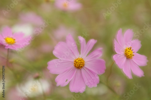 Japan, Nara Prefecture. Close-up of blooming cosmos flowers.
