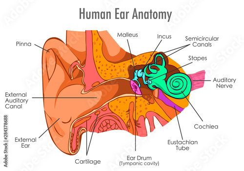 Photo Ear anatomy