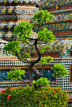 Bonsai Tree In Front Of Chedi,...