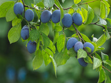 Blue Plums Hanging On A Plum Tree