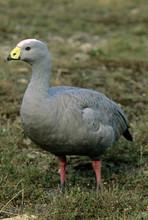 Cape Barren Goose, Kangaroo Island, Australia.