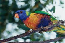 Australia, Eastern States Of Australia, Close-Up Of Rainbow Lorikeet