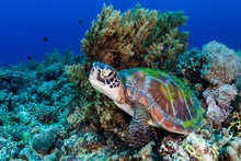 A Large Green Sea Turtle (Chel...