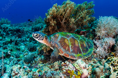 A large Green Sea Turtle (Chelonia Mydas) on a tropical coral reef in the Philip Wallpaper Mural