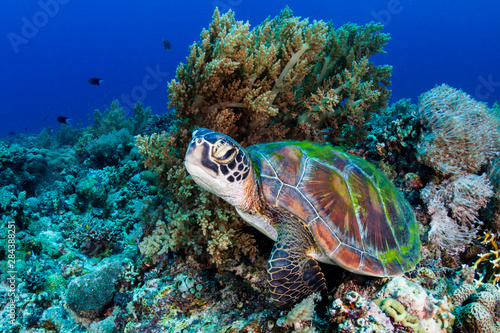 Fotografie, Obraz  A large Green Sea Turtle (Chelonia Mydas) on a tropical coral reef in the Philip