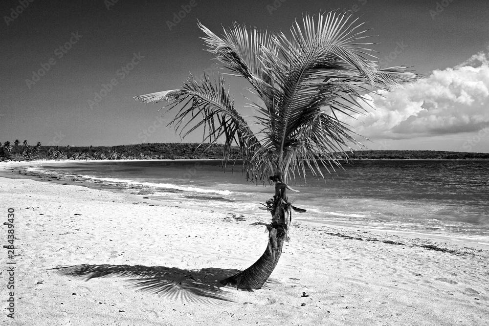 Fototapeta Caribbean, Puerto Rico, Vieques. Single coconut palm on Red Beach.