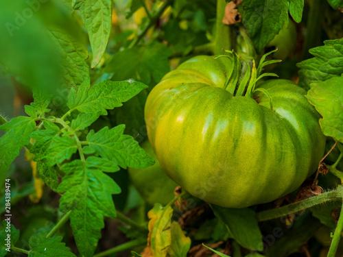 Cadres-photo bureau Zebra big green tomato grows on bush in greenhouse