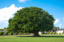 San Juan, Puerto Rico - A Single Ancient Tree Is Sitting In The Middle Of A Grassy Area In A Park. Surrounding The Ancient Tree Are Smaller Sculpted Trees.