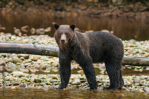 Brown or grizzly bear (Ursus arctos) fishing for salmon in Great Bear Rainforest, British Columbia, Canada.