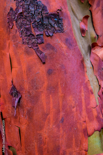 Bark peels from arbutus tree in Ganges, British Columbia, Canada Fototapet