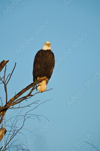 Canada, British Columbia, Vancouver, Bald Eagle (Haliaeetus leucocephalus) Canvas Print