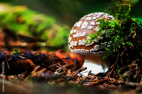 Amanita regalis, also known as the royal fly agaric or the king of Sweden Amanit Canvas Print