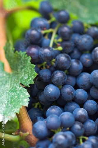 Slika na platnu Canada, British Columbia, Okanagan Valley, Merlot Grapes (Selective Focus)