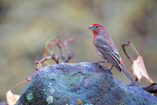 The House Finch Is A Bird In T...