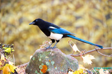 The Black-billed Magpie (Pica ...