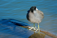 The American Coot, Also Known As A Mud Hen, Is A Bird Of The Family Rallidae. Though Commonly Mistaken To Be Ducks, Coots Belong To The Rail Order. Fulica Americana