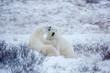 Polar Bears (Ursus maritimus) sparring in Churchill Wildlife Management Area, Churchill, Manitoba, Canada