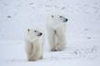 Polar Bears (Ursus maritimus) in Churchill Wildlife Management Area, Churchill, Manitoba, Canada