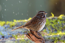 The Song Sparrow Is A Medium-sized American Sparrow. Among The Native Sparrows In It Is Easily One Of The Most Abundant, Variable And Adaptable Species. Melospiza Melodia