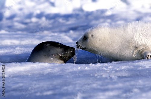 Harp seal pup and mom, ice Gulf of St. Lawrence, Quebec, Canada Fototapet