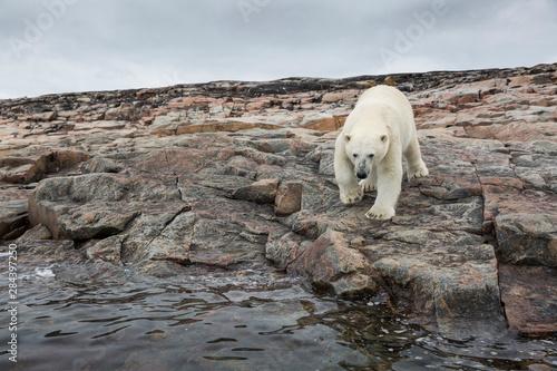 Fototapeta Canada, Nunavut Territory, Repulse Bay, Polar Bears (Ursus maritimus) walking ac