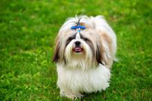 Dog Breed Shih Tzu