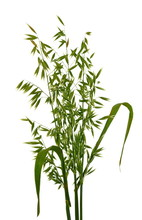 Bunch Of Green Oats Isolated On A White Background. Oat Ears. Bouquet Of Fresh Green Oat Seeds Close Up Isolated.
