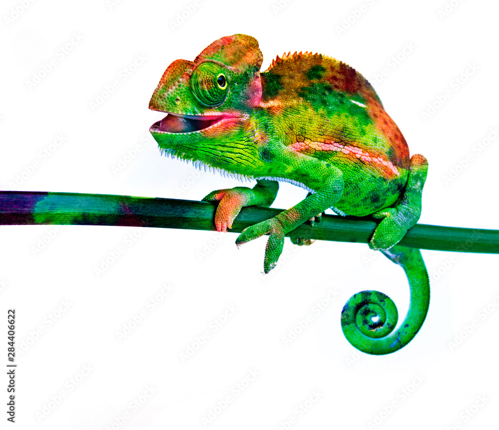 Fototapety, obrazy: cute chamaeleo with funny colors isolated on a white background