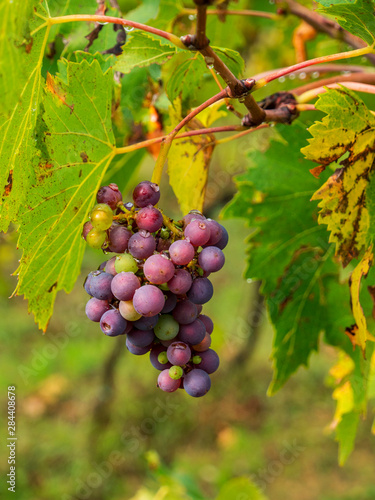 Italy, Tuscany, Chianti, Autumn, Harvest Grapes waiting to be picked Wallpaper Mural