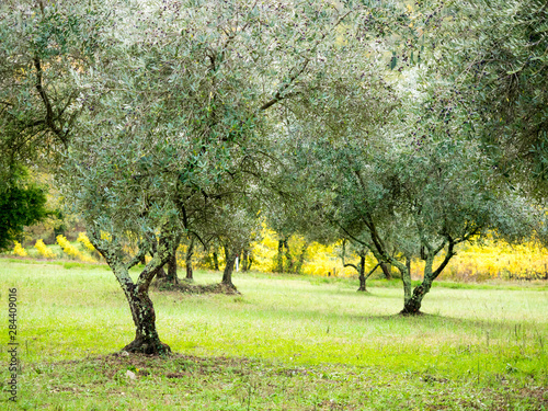 Old olive grove on the hills of Chianti Canvas Print