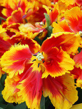 Yellow And Red Parrot Tulips