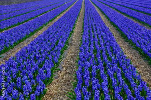 Fototapeta Netherlands, Southern Holland Province, Lisse, hyacinths fields obraz