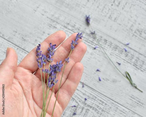 Valokuva  female hand with fresh lavender flowers bunch