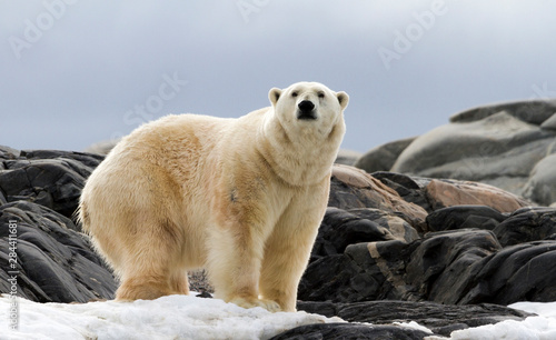 Recess Fitting Polar bear Norway, Svalbard. Polar bear on snow surrounded by dark rocks and snow.