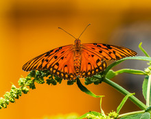 Gulf Fritillary Orange Butterf...