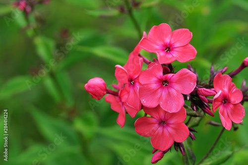 Fototapety, obrazy: Photo of blooming Phlox flower close-up with blurred background