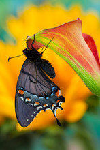Eastern Tiger Swallowtail, Black Form, Papilio Glaucus