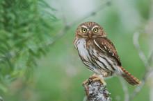Ferruginous Pygmy-Owl, Glaucid...
