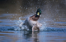 Mallard, Anas Platyrhynchos, Male Bathing, Klingnau, Switzerland, Dezember