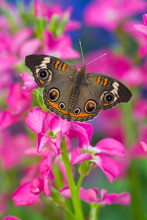 Buckeye Butterfly With Eyespot...