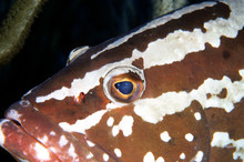 Nassau Grouper, Caribbean