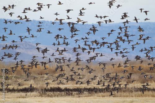 Fotografie, Obraz Large flock of ducks flying past
