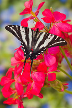 Zebra Swallowtail Butterfly, E...