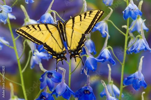 Fototapeta Two-tailed Swallowtail Butterfly, Papilio multicaudatus