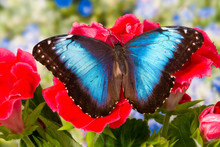 Tropical Butterfly The Blue Mo...