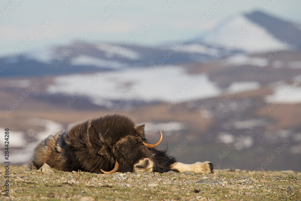 Musk ox nap on the tundra