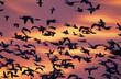 Snow Goose, Chen caerulescens, flock in flight at sunrise, Bosque del Apache National Wildlife Refuge, New Mexico, USA, December