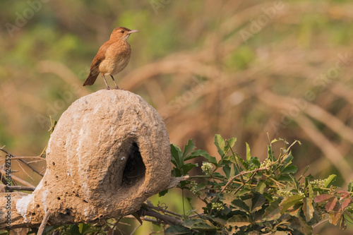 Rufous hornero perched on nest Canvas Print