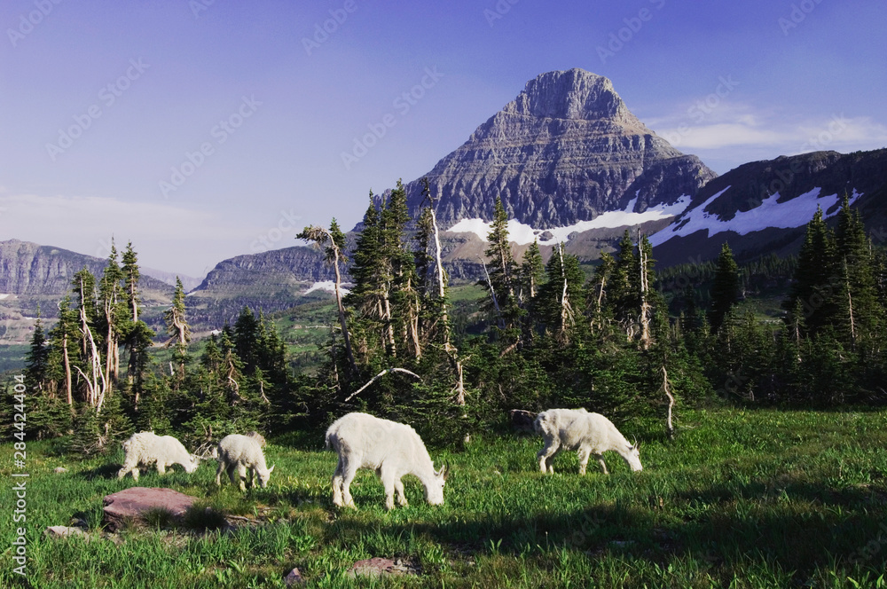 Mountain Goat,Oreamnos americanus, adults with young eating, Mount Reynolds in Background, Glacier National Park, Montana, USA, July